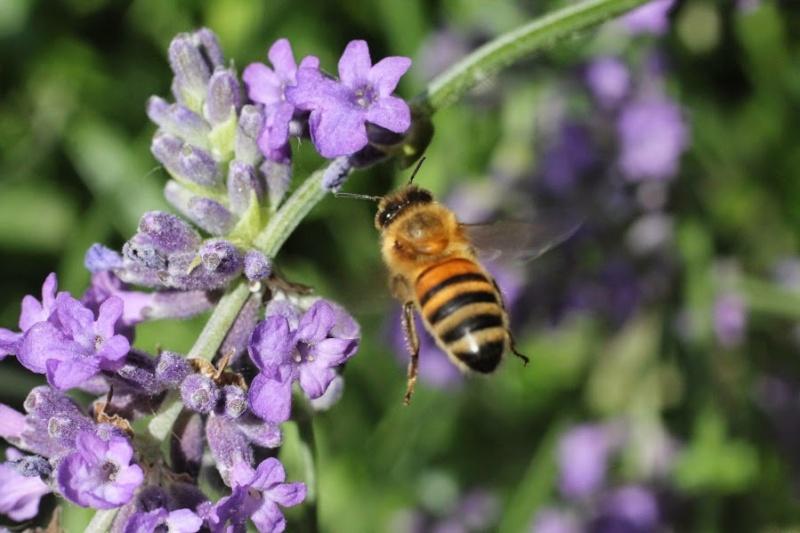 Photos d'abeilles - une par jour  Img_8511