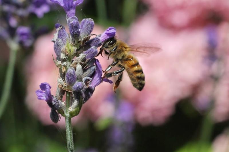 Photos d'abeilles - une par jour  Img_8512