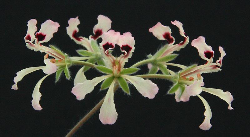 Pelargonium trifoliolatum  Img_2311
