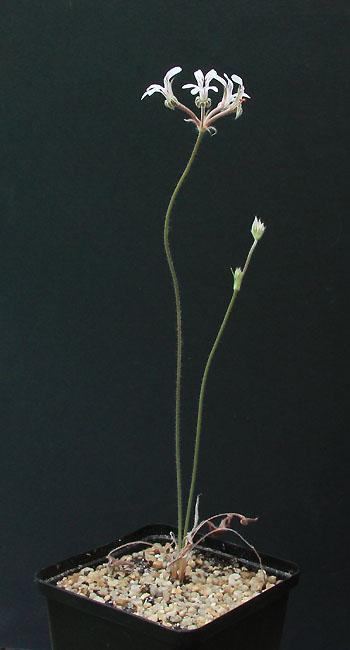Pelargonium caledonicum  Img_2812