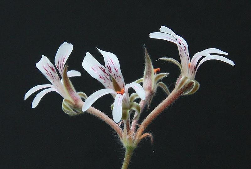 Pelargonium caledonicum  Img_2910