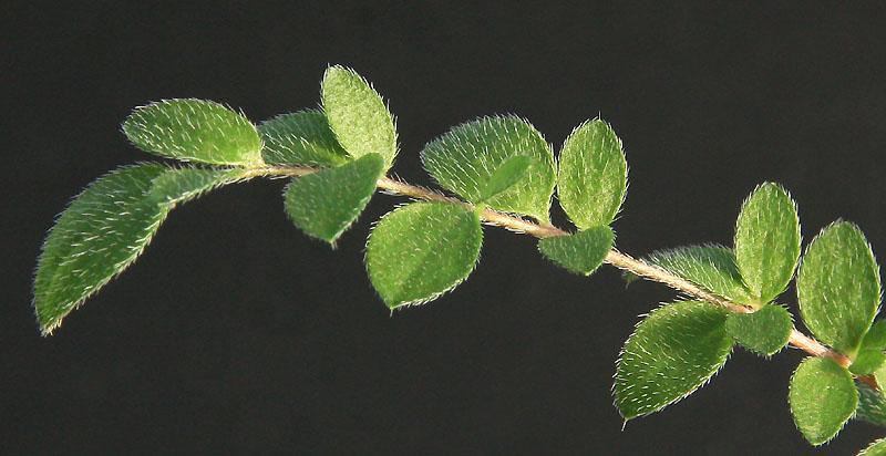 Pelargonium trifoliolatum  Img_3212