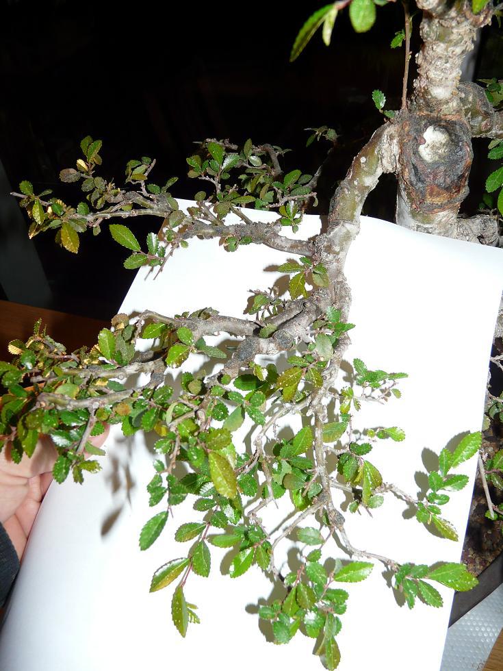 travail sur un orme Branch10