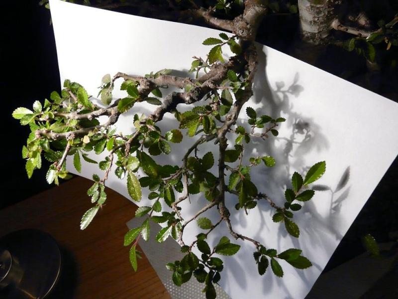 travail sur un orme Branch11