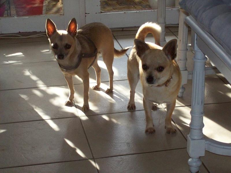 "2 petites chihuahuas à l'adoption ""Scooby France"" - DAISY ADOPTÉE SCOOBY FRANCE Daisy_10"
