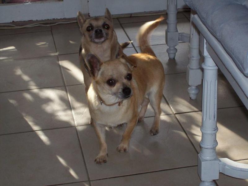 "2 petites chihuahuas à l'adoption ""Scooby France"" - DAISY ADOPTÉE SCOOBY FRANCE Daisy_11"