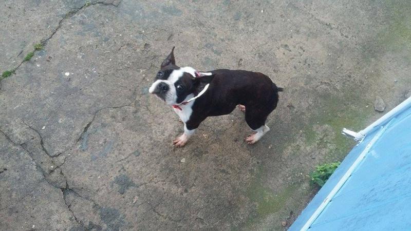 Ex Taz boston terrier femelle née en 2009  reservée  Ex_taz11