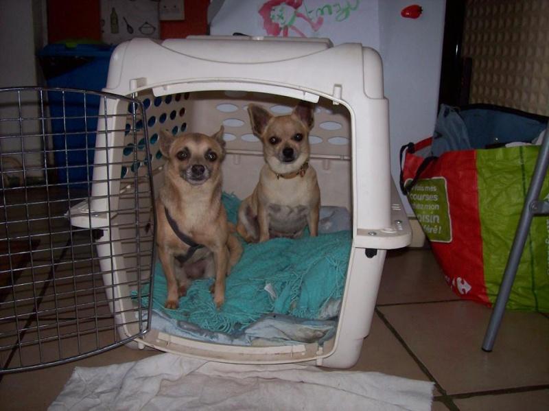 "2 petites chihuahuas à l'adoption ""Scooby France"" - DAISY ADOPTÉE SCOOBY FRANCE Griset11"