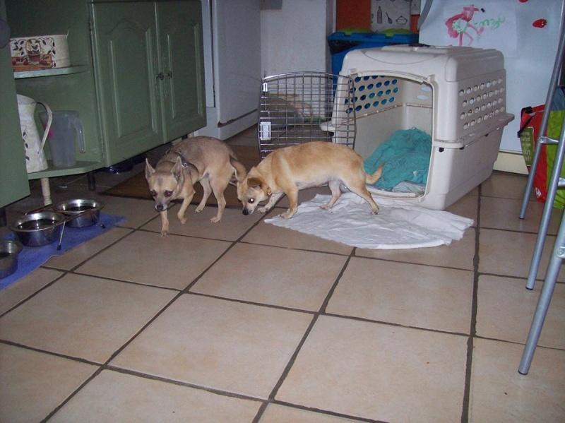 "2 petites chihuahuas à l'adoption ""Scooby France"" - DAISY ADOPTÉE SCOOBY FRANCE Griset12"