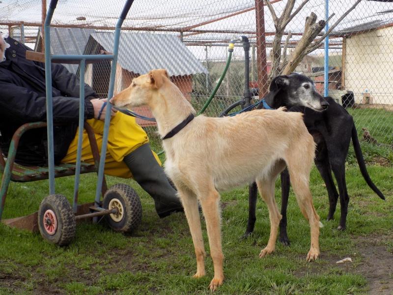 JUANI, galga barbuda beige, 2 ans 1/2 Adoptée  Juani_11