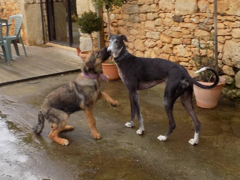 NACHO, galgo noir et blanc, 5 ans  Scooby France - ADOPTE - Page 2 Julita10