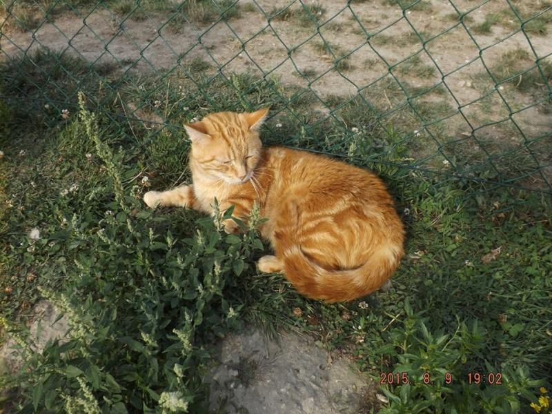 HOBBES, mâle roux Hobbes11