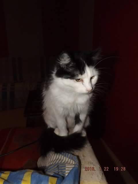 ROXY, chatte noire et blanche à poils mi longs Roxy10