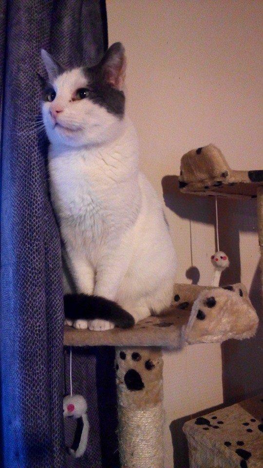 ZEUS, chat blanc et gris Zeus10
