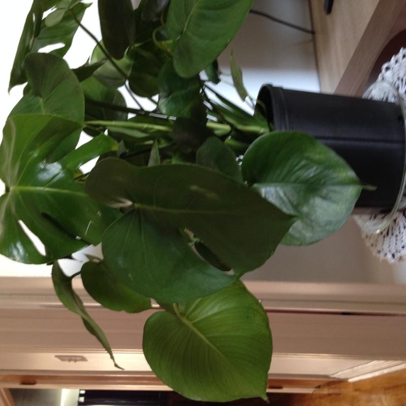 Philodendron qui fait des gouttelettes d'eau Img_1412