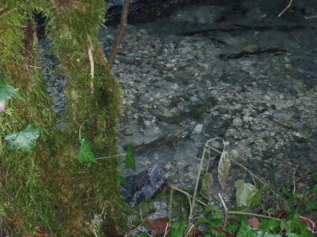 albarine - Frayère de l'Albarine  Pc190034