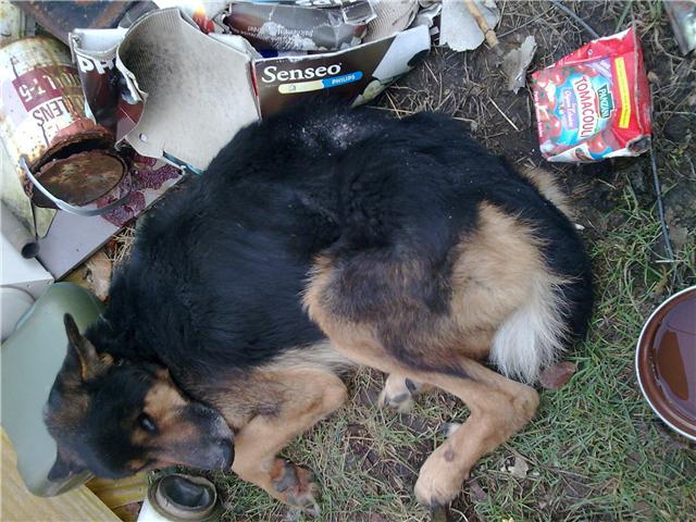 URGENT FA TEXAS (m) berger allemand 3 ans 14 kilos, mourant de faim sur un tas d'ordures dans le 60 - SAUVE - Texas_10