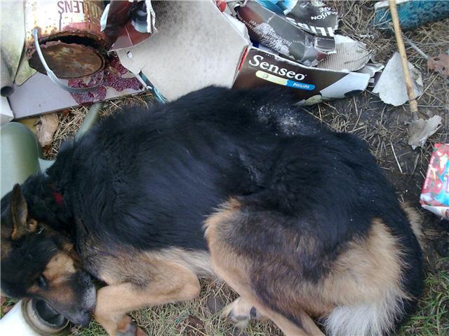 URGENT FA TEXAS (m) berger allemand 3 ans 14 kilos, mourant de faim sur un tas d'ordures dans le 60 - SAUVE - Texas_11