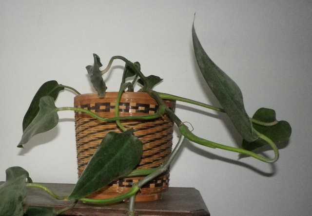 Philo xxx /// Philodendron erubescens ??? 15012011