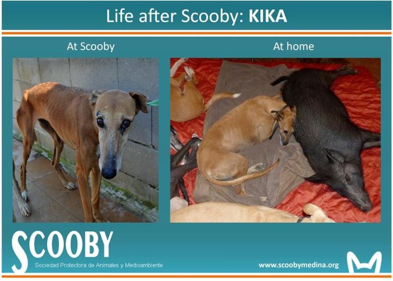Kika galga 7 ans 1/2 marron  Scooby France  Adoptée  - Page 5 12313910