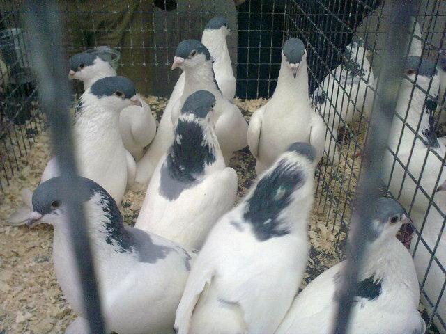 Pëllumbat autokton Panairi në Mitrovicë 27022041