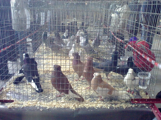 Pëllumbat autokton Panairi në Mitrovicë 27022049