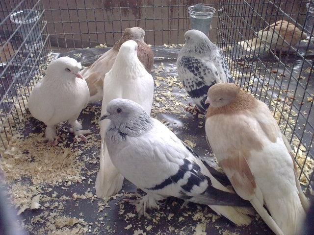 Pëllumbat autokton Panairi në Mitrovicë 27022051