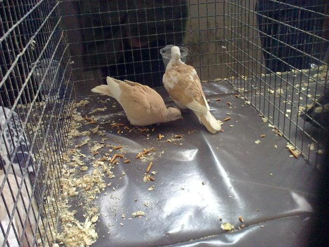 Pëllumbat autokton Panairi në Mitrovicë 27022052