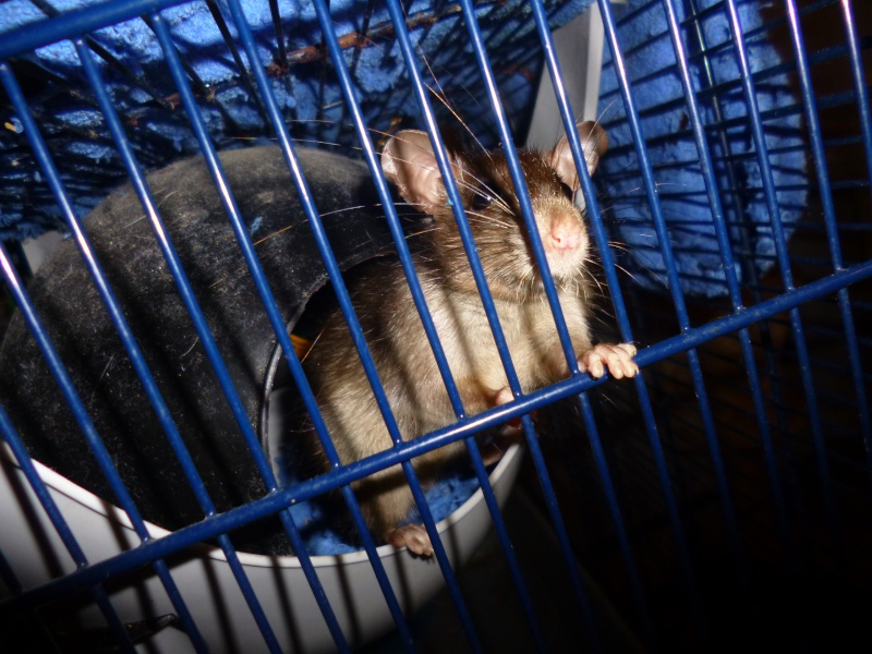 Bébé rattus rattus orphelin  - Page 5 P1030911