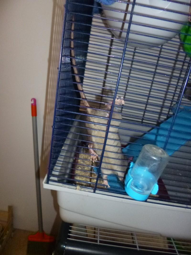 Bébé rattus rattus orphelin  - Page 5 P1030912