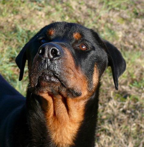 Balou beau rottweiler d' 1 an 1/2 SPA de Carcassone (Aude) URGENT P1110222