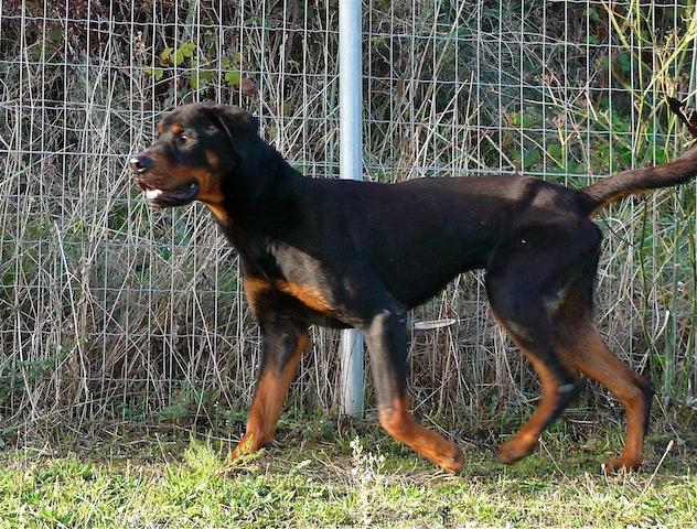Balou beau rottweiler d' 1 an 1/2 SPA de Carcassone (Aude) URGENT P1110223