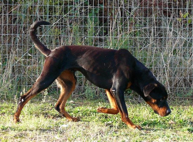 Balou beau rottweiler d' 1 an 1/2 SPA de Carcassone (Aude) URGENT P1110224