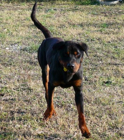 Balou beau rottweiler d' 1 an 1/2 SPA de Carcassone (Aude) URGENT P1110225
