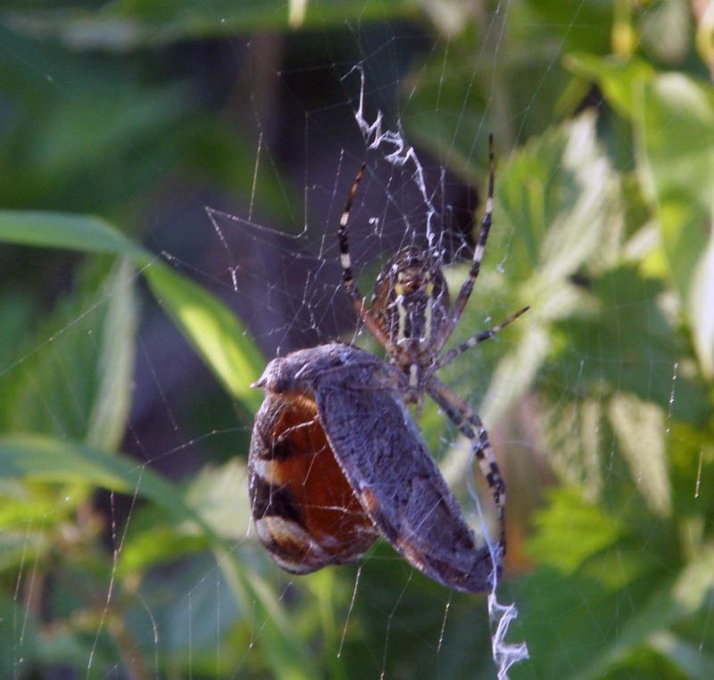 araignée oui mais laquelle P7300010