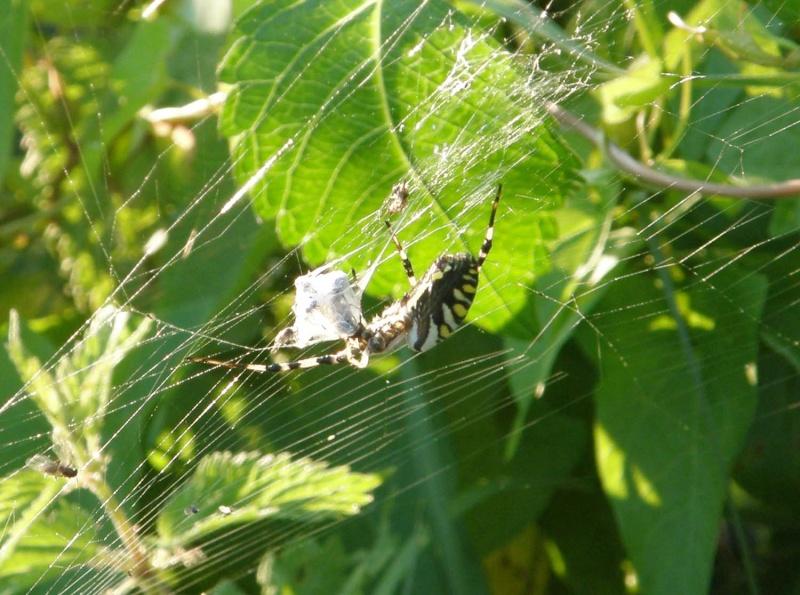 araignée oui mais laquelle P7300011