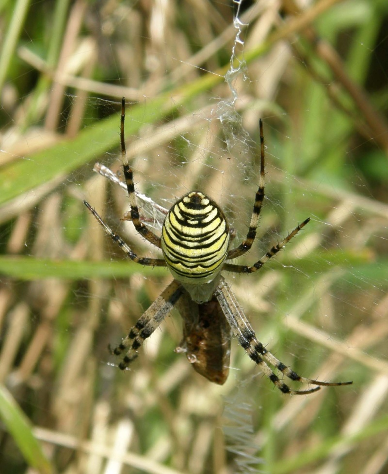 araignée oui mais laquelle P8070010