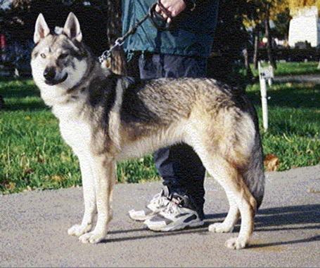 Czechoslovakian Wolfdog - Commentary on CSW judgement Image111