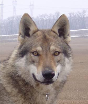 Czechoslovakian Wolfdog - Commentary on CSW judgement Image112