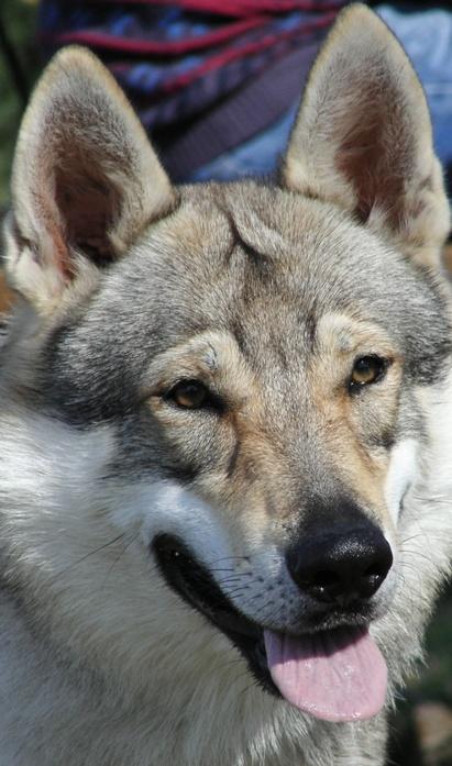 Czechoslovakian Wolfdog - Commentary on CSW judgement Image113