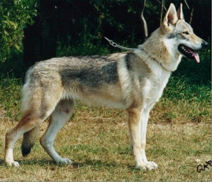 Czechoslovakian Wolfdog - Commentary on CSW judgement Image115