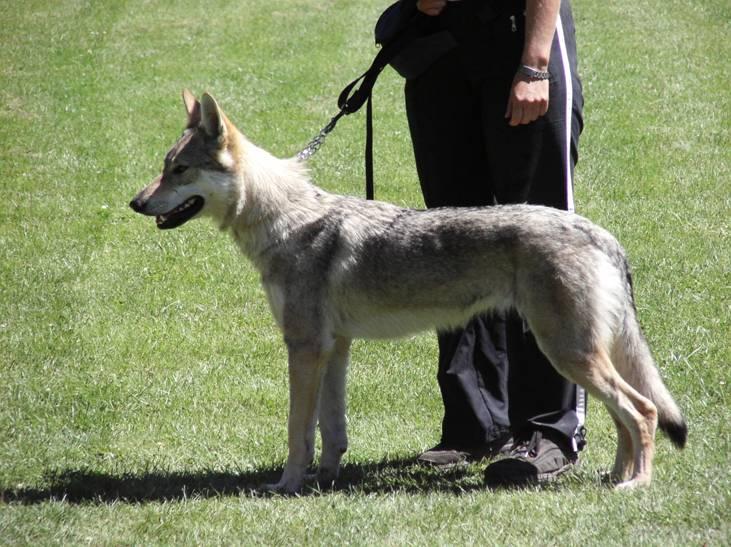 Czechoslovakian Wolfdog - Commentary on CSW judgement Image116