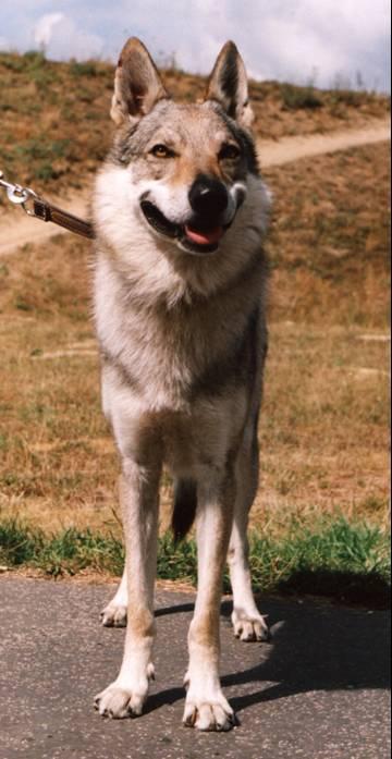 Czechoslovakian Wolfdog - Commentary on CSW judgement Image117