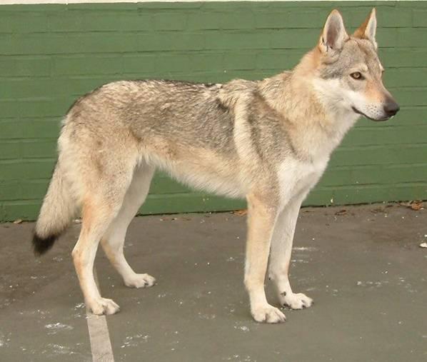 Czechoslovakian Wolfdog - Commentary on CSW judgement Image118