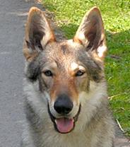 Czechoslovakian Wolfdog - Commentary on CSW judgement Image210