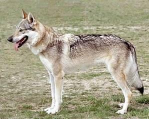 Czechoslovakian Wolfdog - Commentary on CSW judgement Image211