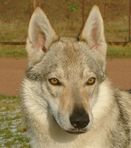 Czechoslovakian Wolfdog - Commentary on CSW judgement Image212