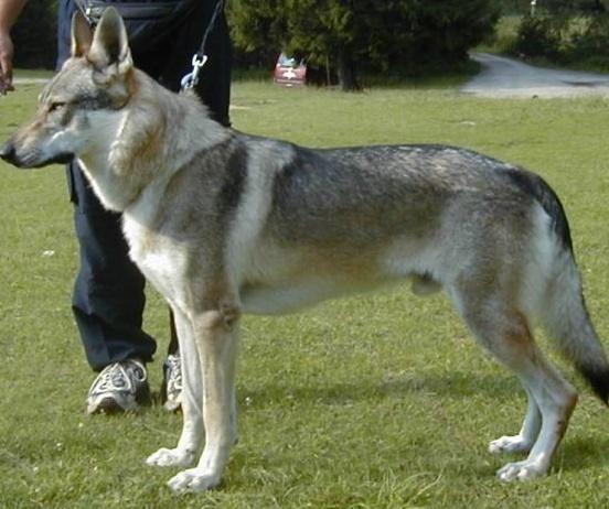 Czechoslovakian Wolfdog - Commentary on CSW judgement Image215