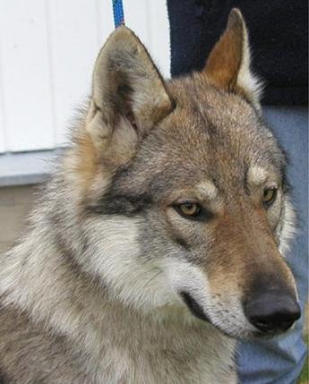 Czechoslovakian Wolfdog - Commentary on CSW judgement Image310