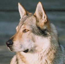 Czechoslovakian Wolfdog - Commentary on CSW judgement Image311